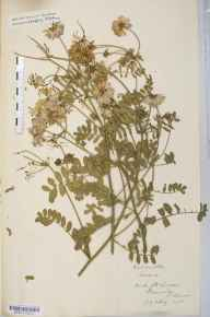 Securigera varia herbarium specimen from Bewdley, VC37 Worcestershire in 1901 by Mr Langley Kitching.