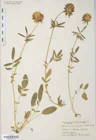 Anthyllis vulneraria herbarium specimen from Winscombe, VC6 North Somerset in 1933 by Mr Harold Stuart Thompson.