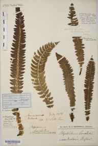 Polystichum lonchitis herbarium specimen from Caenlochan, VC90 Angus in 1826 by Mr William Wilson.