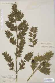 Ruscus aculeatus herbarium specimen from Sidcot, VC6 North Somerset in 1886 by Mr Harold Stuart Thompson.