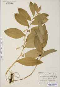 Polygonatum odoratum herbarium specimen from Stanway, VC33 East Gloucestershire in 1906 by Rev Douglas Montague Heath.