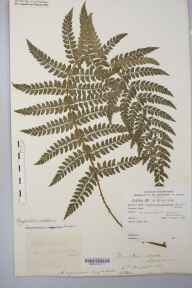 Polystichum setiferum herbarium specimen from Chase Wood, VC36 Herefordshire in 1880 by Rev. Augustin Ley.