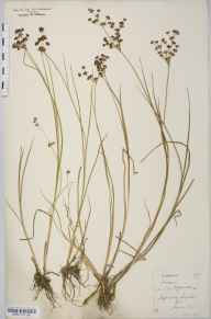 Juncus acutiflorus herbarium specimen from Anger Woods, Stapleton, VC30 Bedfordshire in 1877 by Prof William Hillhouse.