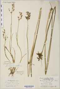 Juncus acutus herbarium specimen from Edington, VC6 North Somerset in 1915 by Mr Harold Stuart Thompson.