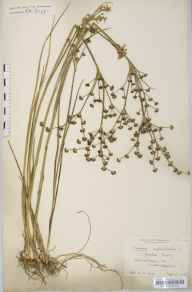 Juncus articulatus herbarium specimen from Adventurers' Fen, VC29 Cambridgeshire in 1906 by Prof Richard Henry Yapp.