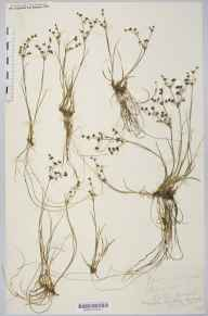 Juncus articulatus herbarium specimen from Coughton Marsh, VC36 Herefordshire in 1890 by Rev. Augustin Ley.