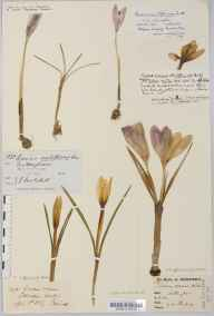 Crocus vernus herbarium specimen from Filton, VC34 West Gloucestershire in 1921 by Mr W Griffiths.