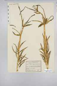 Lilium pyrenaicum herbarium specimen from South Molton, VC4 North Devon in 1850 by George Maw.