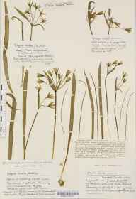 Gagea lutea herbarium specimen from Monkton Coombe, VC7 North Wiltshire in 1933 by Mr Harold Stuart Thompson.