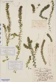 Elodea canadensis herbarium specimen from Market Harborough, VC55 Leicestershire in 1848 by Rev Andrew Bloxam.