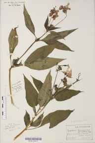 Impatiens glandulifera herbarium specimen from Bethesda, VC49 Caernarvonshire in 1921 by Rev Douglas Montague Heath.