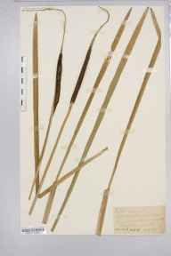 Typha angustifolia herbarium specimen from Monnington-on-Wye, VC36 Herefordshire in 1888 by Rev. Augustin Ley.