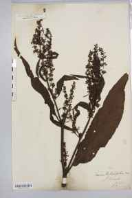 Rumex hydrolapathum herbarium specimen from Doncaster, VC63 South-west Yorkshire in 1879 by William West (Bradford).
