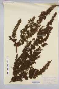 Rumex crispus herbarium specimen from Sugwas Pool, VC36 Herefordshire in 1884 by Rev. Augustin Ley.