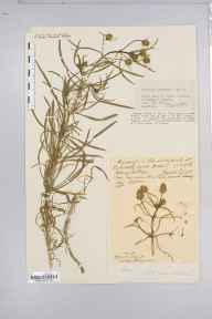 Plantago arenaria herbarium specimen from Lulworth Cove, VC9 Dorset in 1934 by George Nichols.