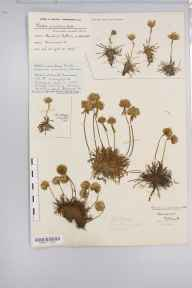 Armeria maritima herbarium specimen from Steart, VC5 South Somerset in 1923 by Mr Harold Stuart Thompson.