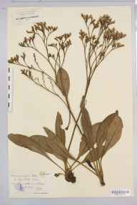 Limonium vulgare herbarium specimen from Teignmouth, VC3 South Devon in 1909 by Rev. Edward Shearburn Marshall.