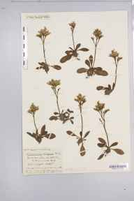 Limonium vulgare herbarium specimen from Uphill, VC6 North Somerset in 1916 by Mr Harold Stuart Thompson.