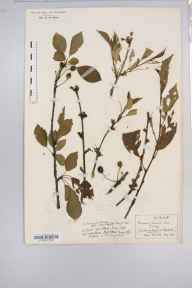 Prunus cerasus herbarium specimen from Sibford, VC23 Oxfordshire in 1931 by Mrs Gertrude Foggitt.