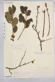 Prunus domestica subsp. insititia herbarium specimen from King's Caple, VC36 Herefordshire in 1877 by Rev. Augustin Ley.