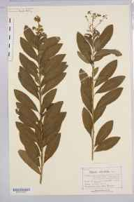 Spiraea salicifolia herbarium specimen from Llanycil, VC48 Merionethshire in 1877 by Mr Charles Bailey.