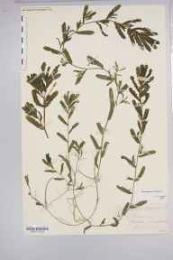 Potamogeton crispus herbarium specimen from Sellack, VC36 Herefordshire in 1877 by Rev. Augustin Ley.