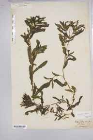 Potamogeton crispus herbarium specimen from Brough, Ambiguous locality (GB) in 1878 by William West (Bradford).