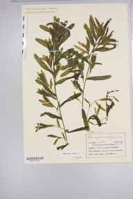 Potamogeton crispus herbarium specimen from Knott End-on-Sea, VC60 West Lancashire in 1904 by Mr Charles Bailey.