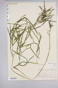 Potamogeton compressus herbarium specimen from Cromford, VC57 Derbyshire in 1884 by Mr Charles Bailey.