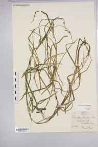 Potamogeton compressus herbarium specimen from Blakedown Pool, VC37 Worcestershire in 1883 by Dr Frederick Arnold Lees.