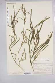 Potamogeton compressus herbarium specimen from Warwick, VC38 Warwickshire in 1876 by Mr Henry Bromwich.