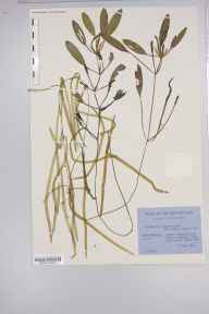 Potamogeton epihydrus herbarium specimen from Loch Ceann a Bhaigh, VC110 Outer Hebrides in 1951 by George Taylor.