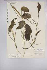 Potamogeton natans herbarium specimen from Henfield, VC13 West Sussex in 1924.