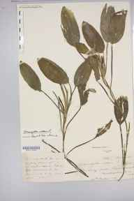 Potamogeton natans herbarium specimen from Shobdon, Lady Pool, VC36 Herefordshire in 1884.