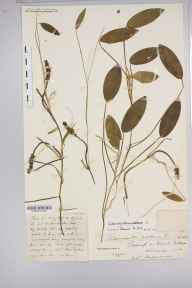 Potamogeton natans herbarium specimen from Killarney, VCH2 North Kerry in 1887 by Rev. Augustin Ley.