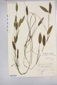 Potamogeton natans herbarium specimen from Connemara, VCH16 West Galway in 1885 by Rev William Richardson Linton.