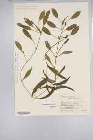 Potamogeton gramineus x perfoliatus = P. x nitens herbarium specimen from Whittlesea,Blackbush Drain, VC29 Cambridgeshire in 1895 by Mr Alfred Fryer.