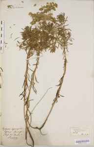 Euphorbia cyparissias herbarium specimen collected in 1856 by Mary Ann Brooks.
