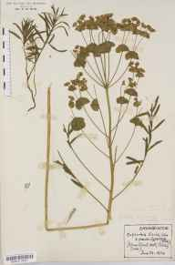 Euphorbia esula herbarium specimen from Takeley, VC19 North Essex in 1924 by Rev Douglas Montague Heath.