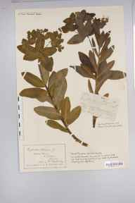 Euphorbia hyberna herbarium specimen from Waters Meet, VC4 North Devon in 1887 by David Fry.