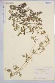 Fumaria occidentalis herbarium specimen from Newquay, VC1 West Cornwall in 1905 by Dr Chambre Corker Vigurs.