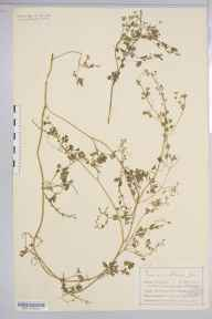 Fumaria muralis subsp. boraei herbarium specimen from Portpatrick, VC74 Wigtownshire in 1899 by Mr Charles Bailey.