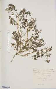 Fumaria officinalis herbarium specimen from Thorpe Arch, VC64 Mid-west Yorkshire in 1876 by Mr Langley Kitching.