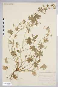 Geranium molle herbarium specimen from Saint Weonards, VC36 Herefordshire in 1882 by Rev. Augustin Ley.
