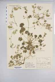 Geranium molle herbarium specimen from Charnwood Forest, VC55 Leicestershire in 1900 by Mr Harold Stuart Thompson.
