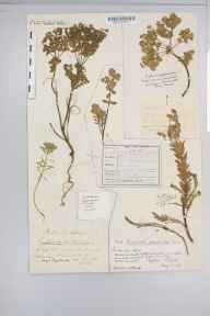 Euphorbia portlandica herbarium specimen from Braunton Burrows, VC4 North Devon in 1849 by George Maw.