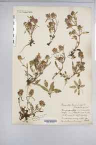Prunella laciniata herbarium specimen from Cheddar, VC6 North Somerset in 1917 by Miss Julia Alice Maltby.