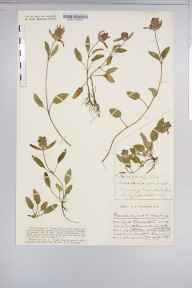 Prunella vulgaris herbarium specimen from Sapperton, VC33 East Gloucestershire in 1931 by Mr Harold Stuart Thompson.
