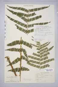 Dryopteris affinis subsp. borreri herbarium specimen from Shirley, Bills Wood, VC38 Warwickshire in 1950 by V Jacobs.
