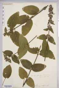 Stachys alpina herbarium specimen from Gloucestershire in 1908 by Rev. Augustin Ley.